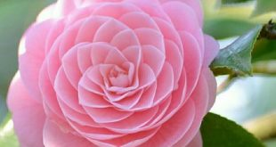 25+ Most Beautiful Pink Flowers with Pictures