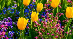 Spring: Yellow tulips, Flowers on Lake Geneva, with Swiss Alps, Montreux, Switze...