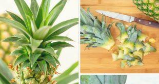 Urban Gardening: Ananas selber ziehen - Tropical Feeling für Zuhause