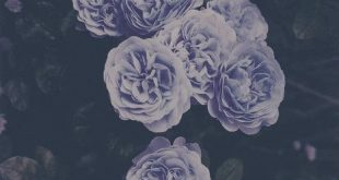 lilai blaui grüni violetti    rosen blumen flower