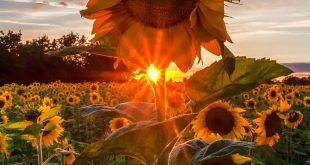 "lsleofskye: ""Sunny Sunflower """