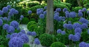 10 Amazing Facts Of Agapanthus Peter Pan. #6 Is Shocking In A Good Way!