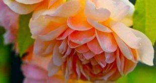 22+ ideas flowers peonies garden english roses