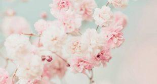 Gypsophila Pink Blush II