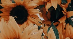 Sunflower; Flower; Plant; Sunflower Photography;Sunflower Inspiration; Sunflower...