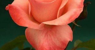 60 verschiedene Rosenfarben. Genießen Sie reizende Rosenblumensammlung.