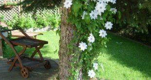 Gartenblumen-Clematis auf Baumdesign-Seite #flower
