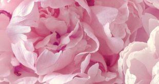 Pfingstrose   Blumen   schöne farbe   Hintergrund   Fitz & Huxley   www.fitzandhuxl ...