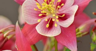 Pink and white columbine flower