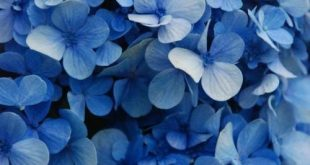 Take a look!!! It's a GREAT year for hydrangeas!!!! One of your neighbors po...