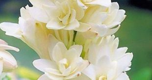 Tuberose (Polianthes tuberosa) ...