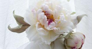 White wedding Silk Flower Brooch, silk white peony, hat accessories, bridal flower, dress hair accessories. Statement Flower Headpiece