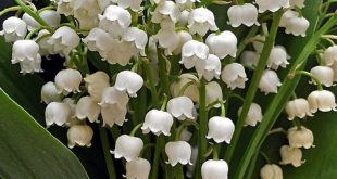 love lilly of the valley>>> All I can think of is breaking bad when I see these ...